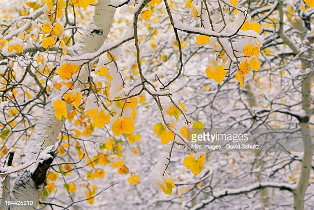 Cottonwood tree branches with yellow autumn foliage.