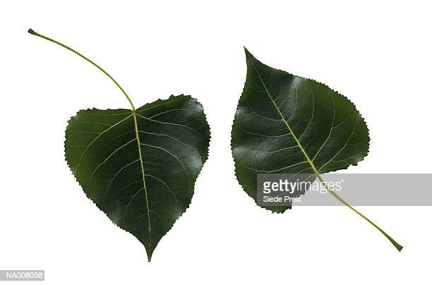 Cottonwood Tree Leaves