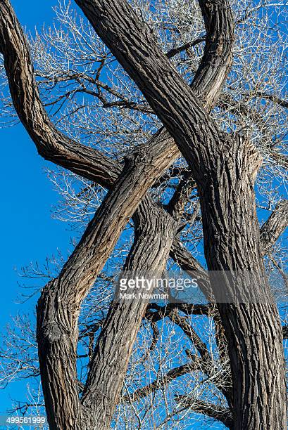 Cottonwood Tree trunks