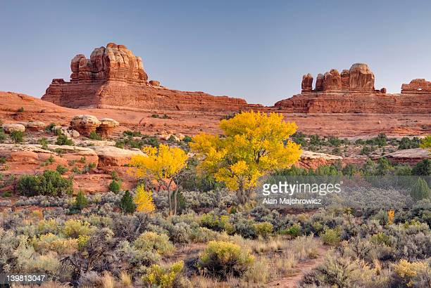 cottonwood trees displaying brilliant autumn foliage in squaw canyon at dusk, canyonlands national park, utah, usa - canyonlands national park stock pictures, royalty-free photos & images