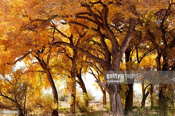 Cottonwood Trees in New Mexico USA Fall Colors