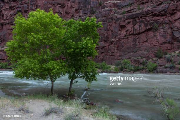 Cottonwood trees in the riparian habitat along the Green River in the Canyon of Ladore in Colorado. A slow camera shutter speed gives the moving...