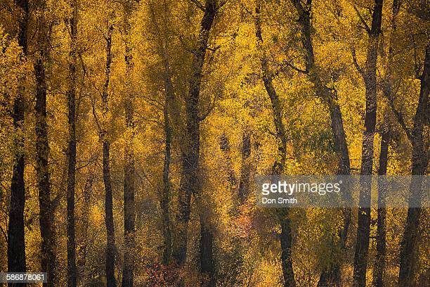 cottonwoods and fall color - don smith ストックフォトと画像
