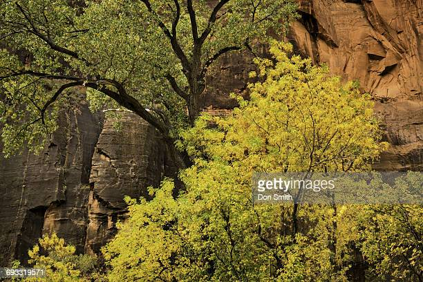 cottonwoods in zion canyon - don smith stock pictures, royalty-free photos & images