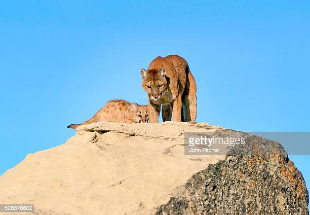 Cougar and kit on rocks
