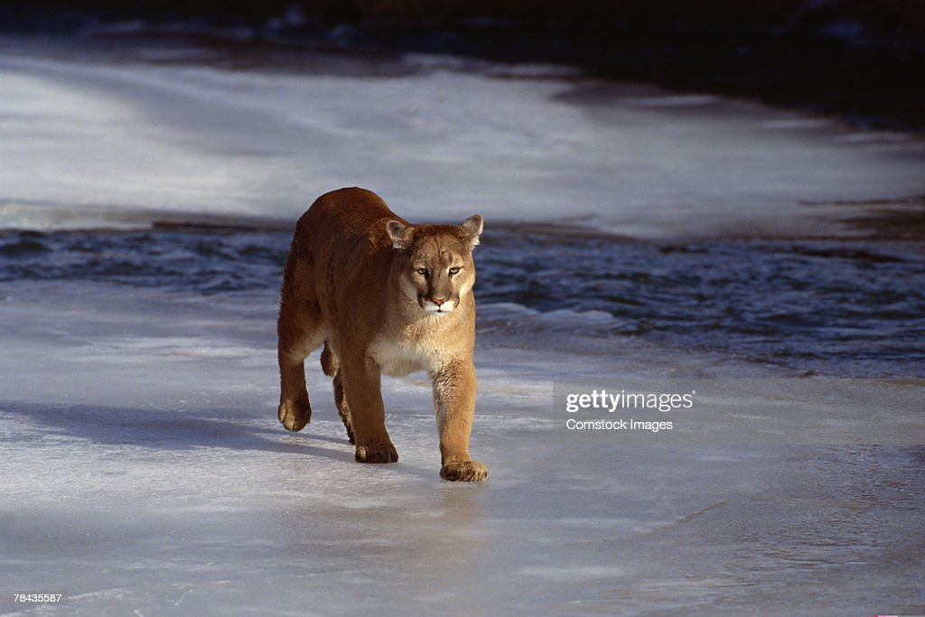 Cougar approaching on frozen ice , Montana : Stockfoto