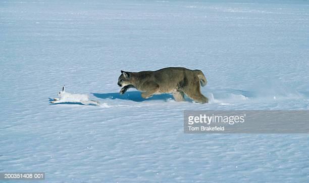 cougar chasing snowshoe rabbit, varying hare on snow - förföljande bildbanksfoton och bilder