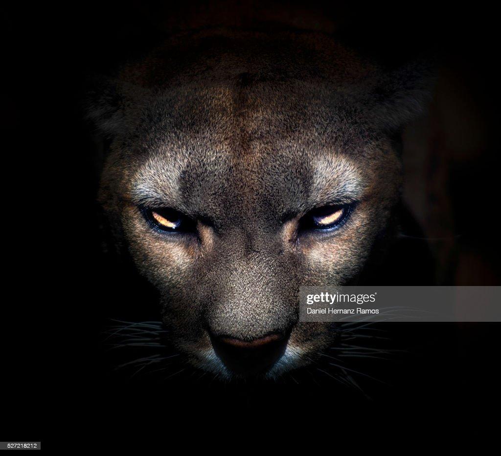 Cougar face : Stock Photo