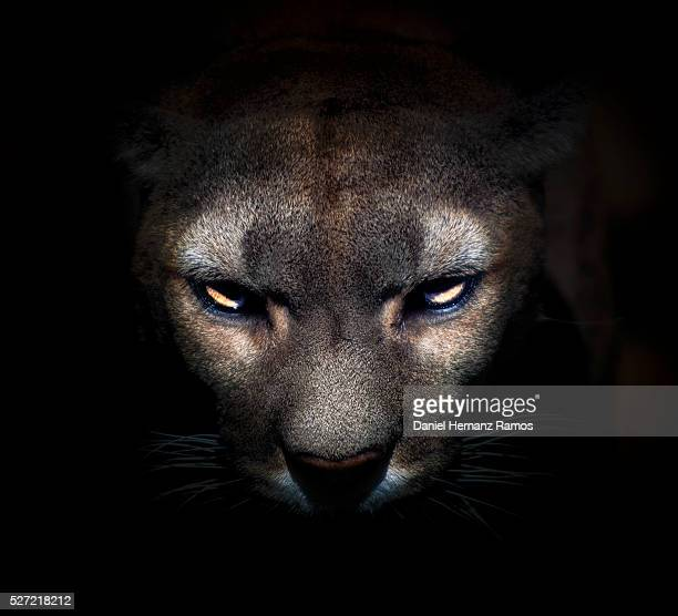 cougar face - puma stock photos and pictures