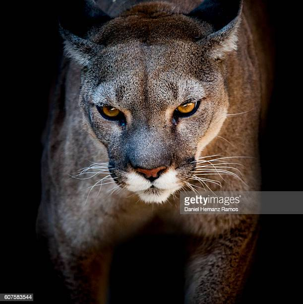cougar front view in hunt attitude. puma concolor - dark panthera stock pictures, royalty-free photos & images
