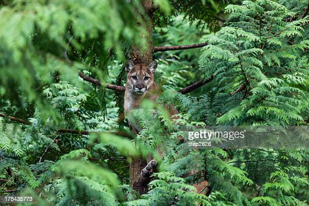 cougar in a cedar tree - puma stock photos and pictures