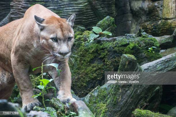 Cougar In Zoo