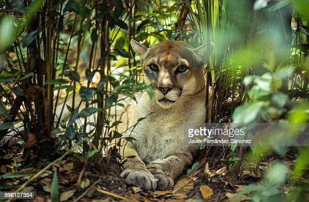 a cougar (puma concolor) lying between the vegetation of the jungle of belize, looking directly at the camera. mountain lion. - puma stock photos and pictures