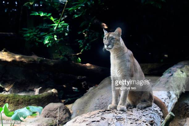 cougar - puma stock photos and pictures