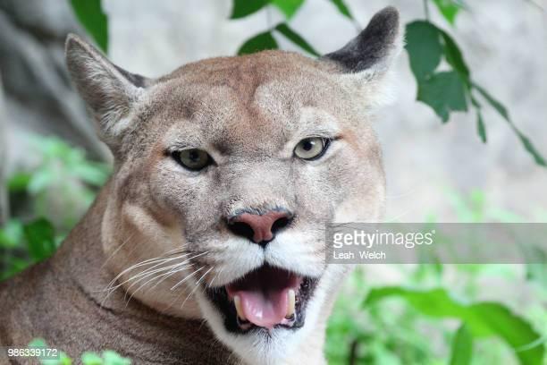 cougar - leah wilde stock-fotos und bilder