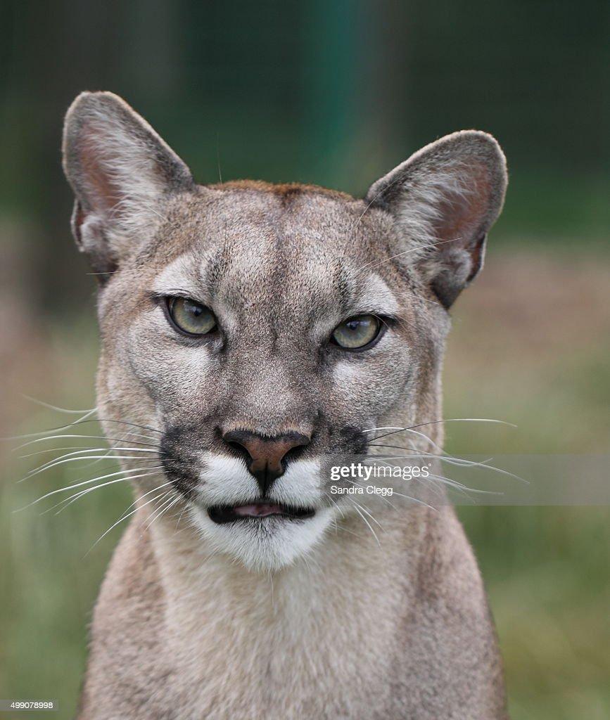 Cougar portrait : Stock Photo