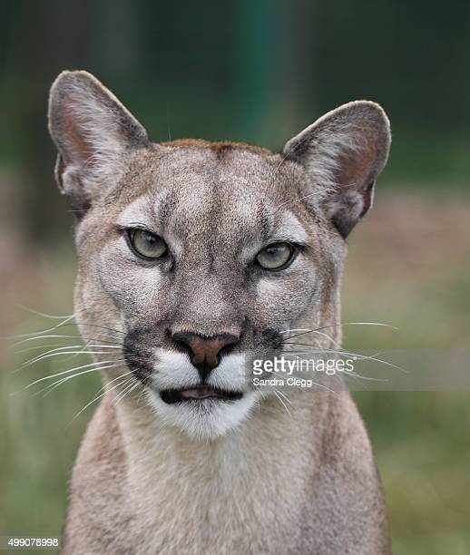 cougar portrait - puma stock photos and pictures