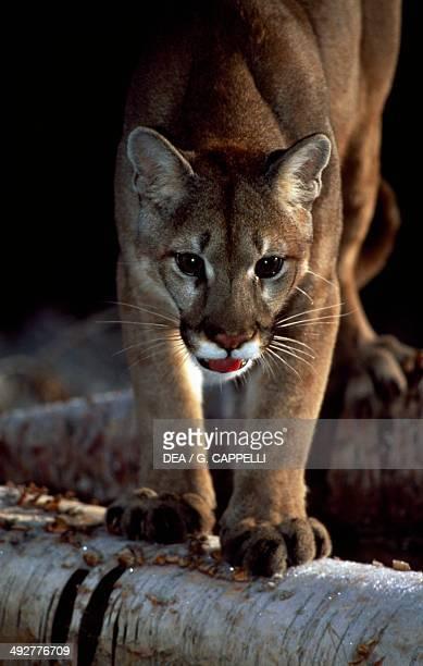 Cougar Puma or Mountain Lion Felidae