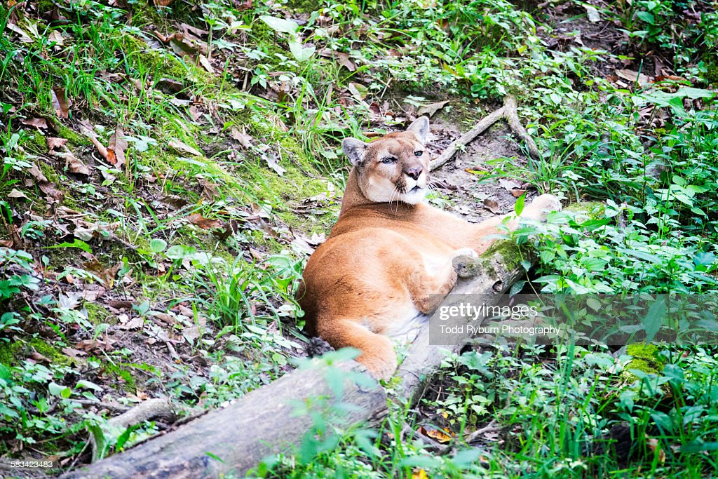 Cougar relaxing : Stock Photo