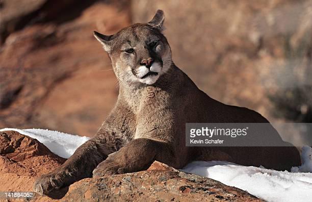 Cougar resting on rock in snow. Uinta National Forest, Utah