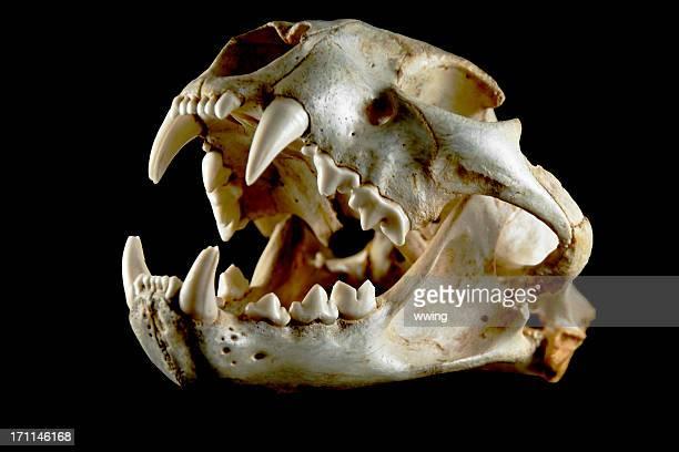 Cougar cráneo. Vista lateral