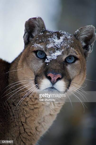 Cougar (Felis concolor), snow on face, close-up