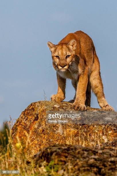 cougar (puma concolor) standing on boulder - puma stock photos and pictures