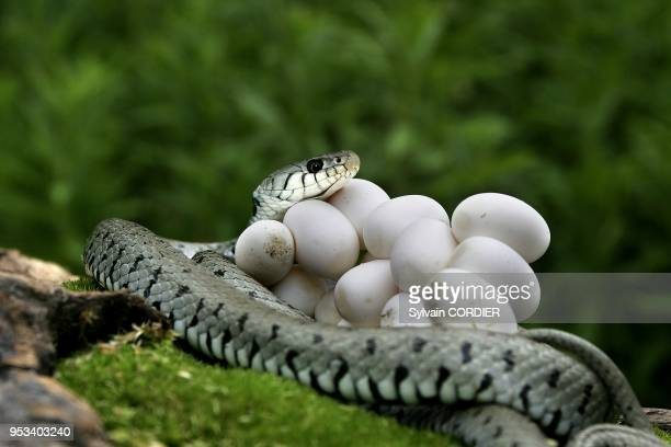 Couleuvre a collier et ses oeufs Ringed Snake Natrix natrix