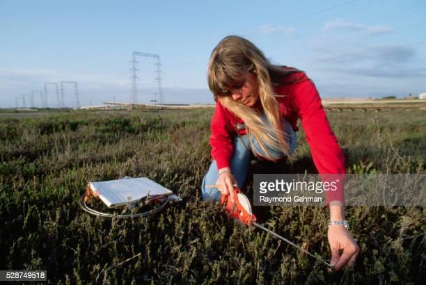 Counting Salt Marsh Bird's Beaks