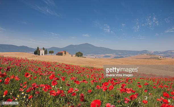 Country church and poppies field in Tuscany