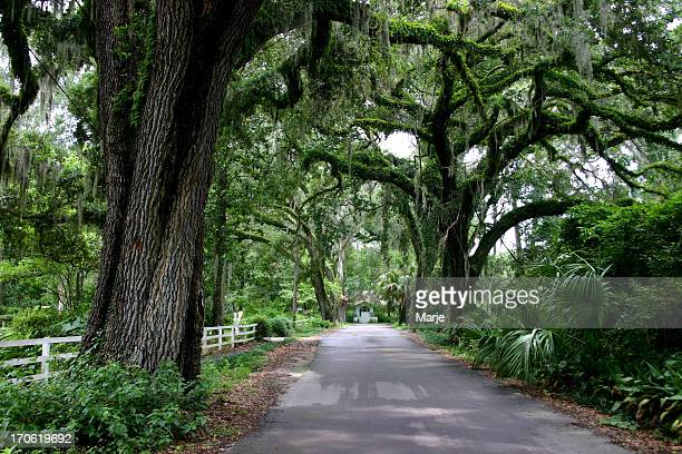 country lane with oak trees - live oak tree stock pictures, royalty-free photos & images
