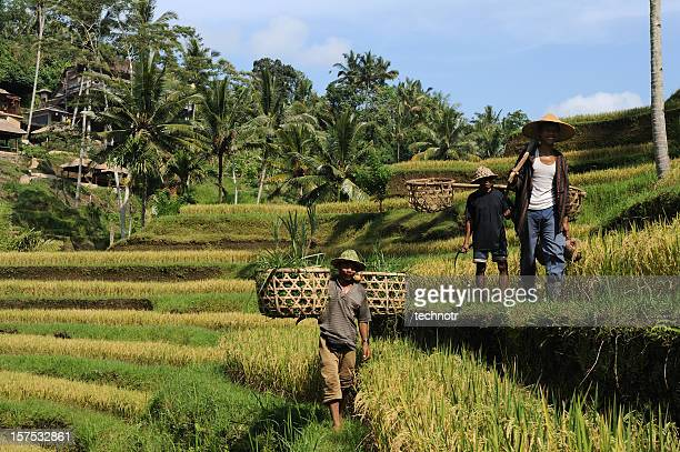 country men on rice terraces at bali - indonesian culture stock pictures, royalty-free photos & images
