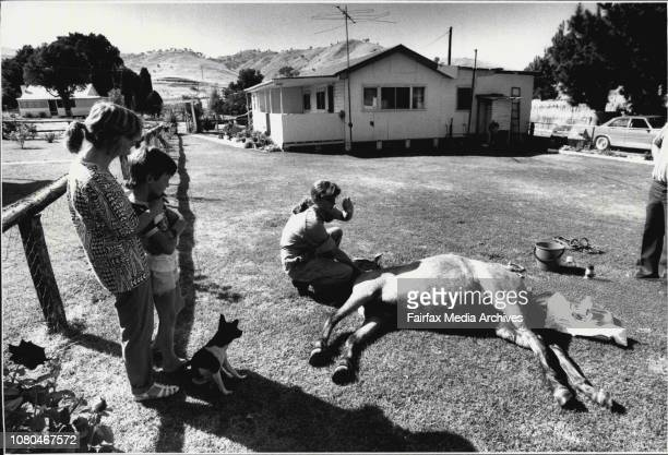 A Country Practice At GundagaiKathy prepares to castrate a pony as owners Wendy Anderson and her son Gary watch with concern at their Gundagai...