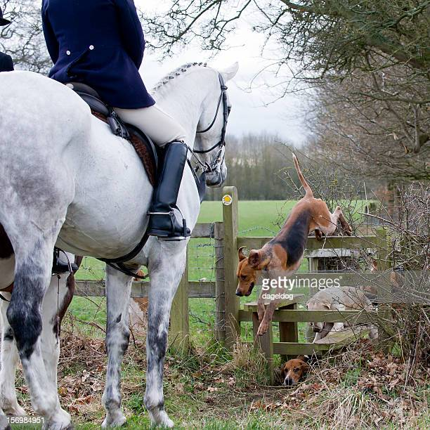 country pursuits - hound stock pictures, royalty-free photos & images