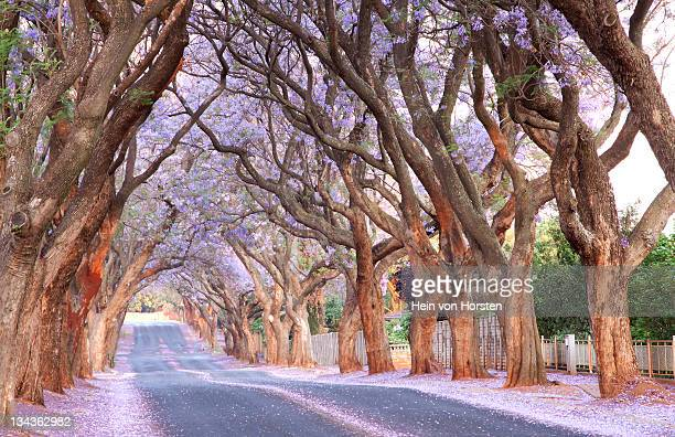 Country road and Jacaranda trees, Pretoria, South Africa