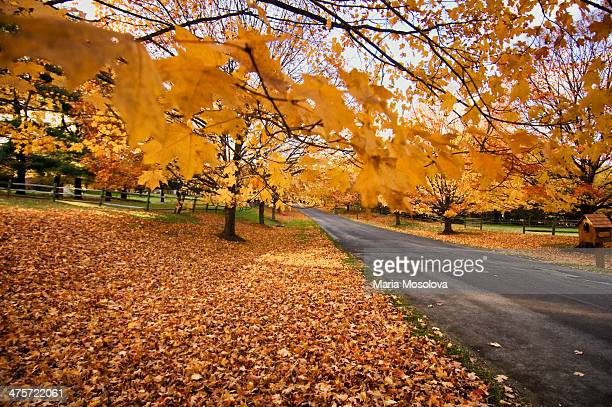 country road, maple fall foliage - rockville maryland stock pictures, royalty-free photos & images