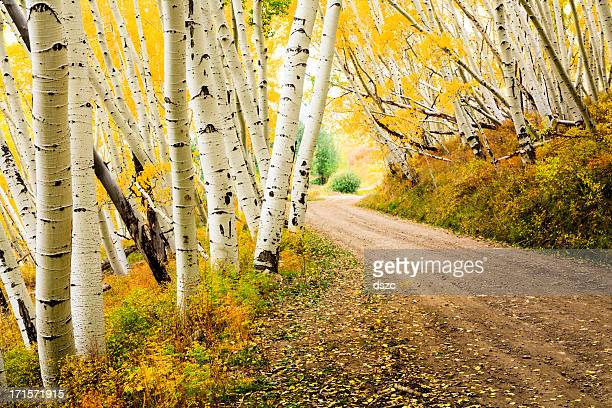 country road through canopy of autumn aspen trees