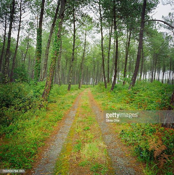 Country road through fern forest (diminishing perspective)
