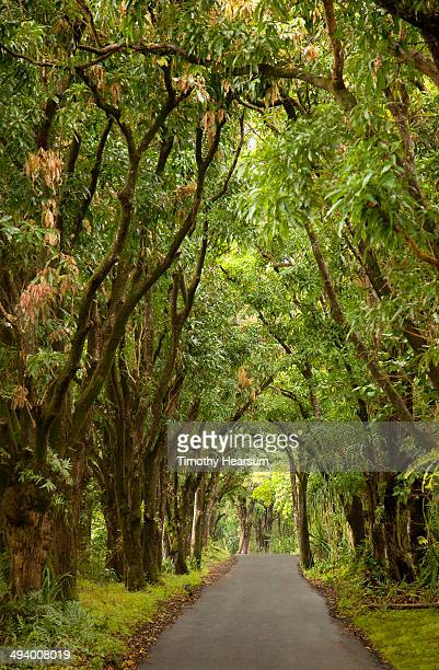 country road through tunnel of mango trees - timothy hearsum stock photos and pictures