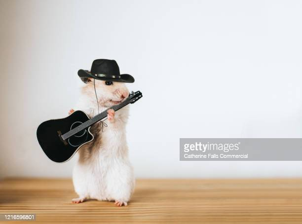 country singer hamster - country and western stock pictures, royalty-free photos & images