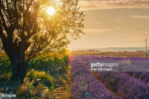 countryside in provence with lavander and sunflower - provence alpes cote d'azur stock photos and pictures
