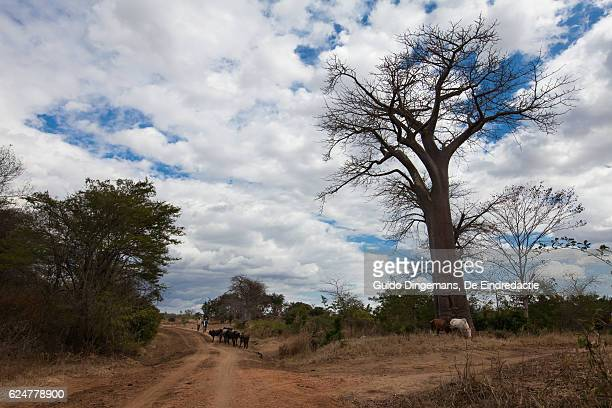 countryside landscape with cows and baobab tree (malawi) - humanitarian aid stock pictures, royalty-free photos & images