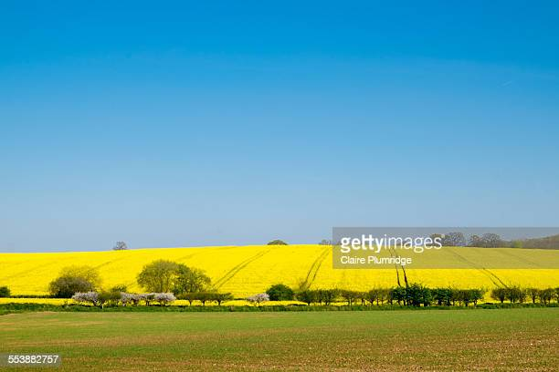 uk countryside - rape seed field - claire plumridge stock pictures, royalty-free photos & images