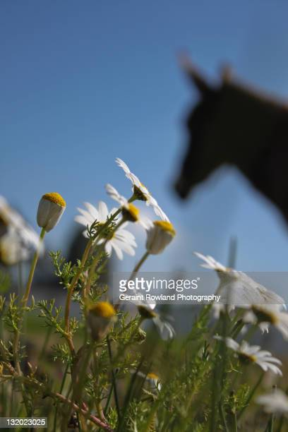 Countryside scene, daisies and horse