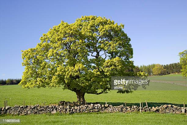 countryside scene - sycamore tree stock photos and pictures