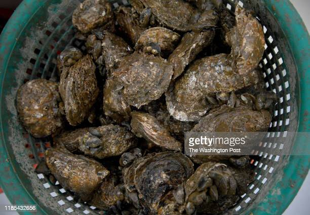 Counts the largest sized shucked oysters fill bushels hand picked from the bottom of the Chesapeake Bay February 18 2019 in Chesapeake Bay MD