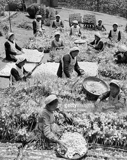 County of Nanchung China These women are picking silkworm's cocoons This photograph is illustrating the Chinese agricultural production during the...