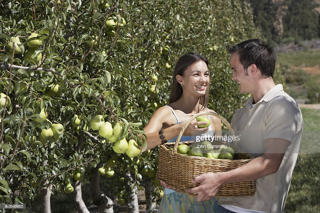Coupe Harvesting Pears : Stock Photo