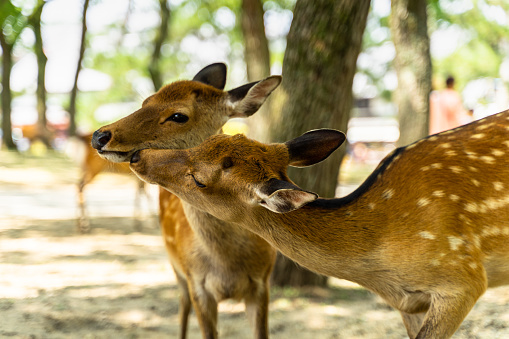 A couple at Nara Park, Japan. Nara Park home over 1.000 sika deer freely roaming in the park. 1214806059