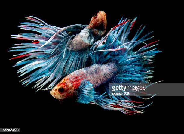 couple Betta fish (half moon) or Siamese fighting fish and contrast color